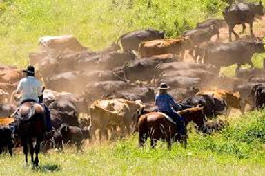 Cattle Drive (2 Hours)