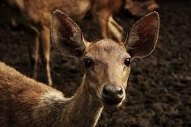 Evacuated Deers