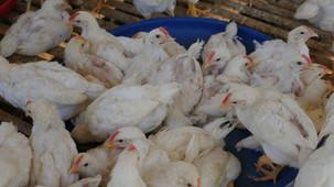 Hühner und die Wiedergeburt