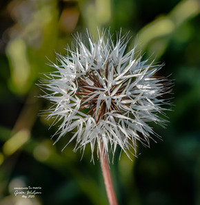 In a field full of Dandelion Wish-Wands….. I'd rather be the Silver-Puff!