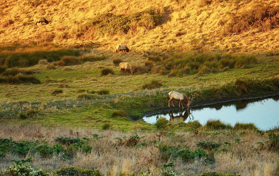 Elk at Point Reyes.jpg