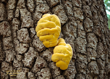 Fungus: Laetiporus sulphureus (Chicken of the woods)