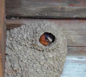 The Cliff Swallows of La Purisima Mission
