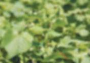 Buckwheat article.jpg