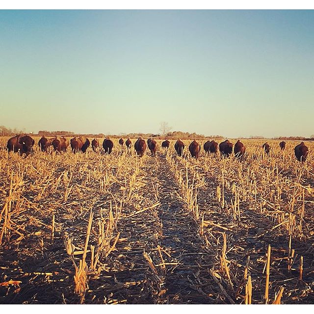grazing the corn stover