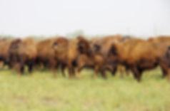 Border-Agriculture-bison-1_.jpg