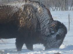 Bull grazing in the winter
