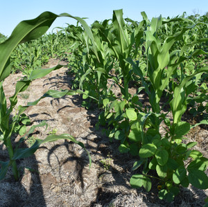 Corn & Soy (5).JPG