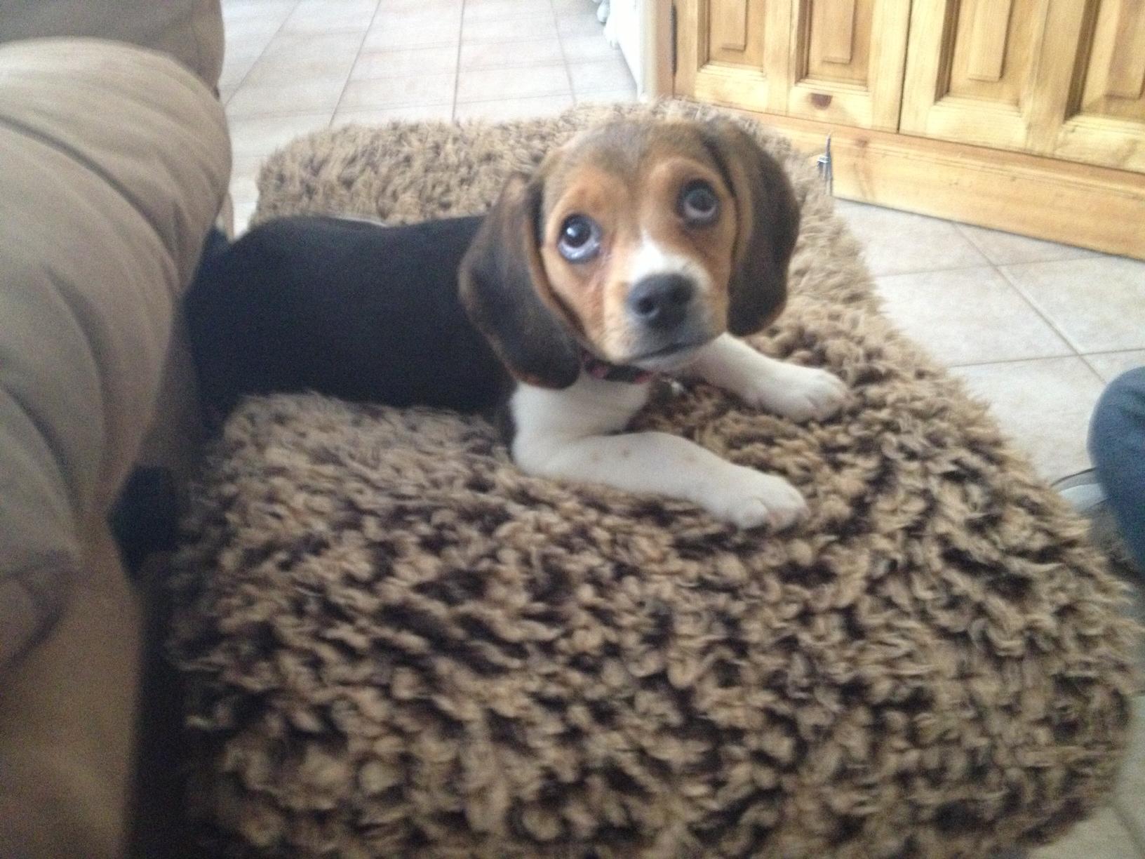 Sophie a Pocket Beagle