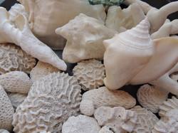 Seashells Bahamas
