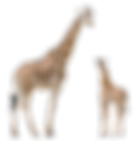 giraffe_PNG13529 (1).png
