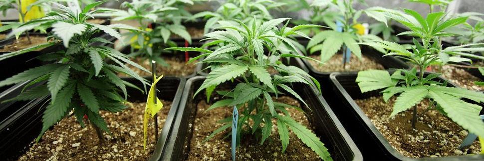 Growing-Cannabis-plants-1024x341.jpg