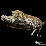 Leopard copy 3.png