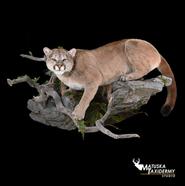 Cougar-MT.png