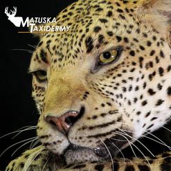 Leopard4.png