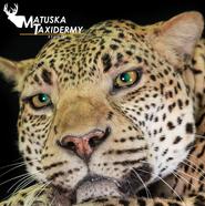 Leopard3.png
