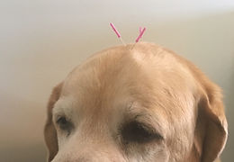 acupuncture on dog homevetsnyc