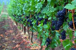 Willamette-Valley-Pinot-Noir