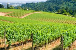 oregon-vineyard