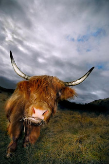 5 crucial Highland Cow facts that you probably didn't know!