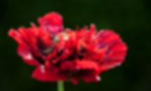 Papaver rood