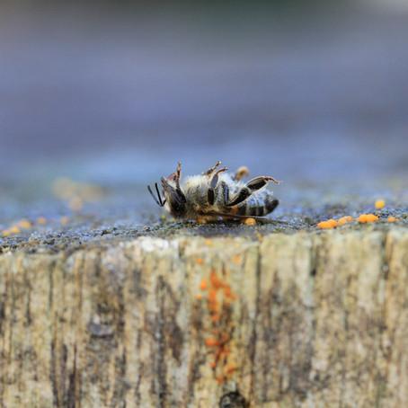 Comment lutter contre la disparition des abeilles ?
