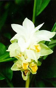 Turmeric flower (Curcuma longa)