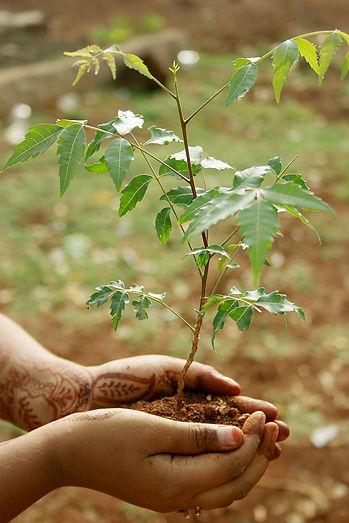 Neem plant (Azadirachta indica)