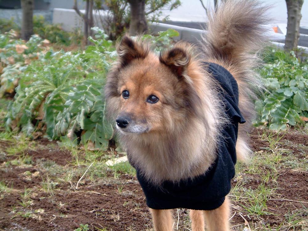 雑種犬 ミックス犬 Dog Homestay FLUFFY DOG