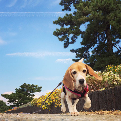ビーグルミキコ beagle