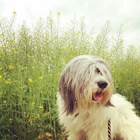 ポーリッシュ・ローランド・シープドッグ シニア犬 senior dog