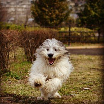 ポーリッシュ・ローランド・シープドッグ Polish Lowland Sheepdog