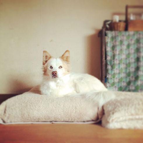 雑種犬 ミックス 老犬 シニア犬