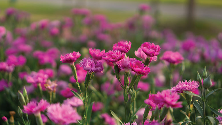 field of pink carnations flowers for January bloom