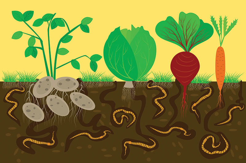 drawing of earthworms and vegetables in the dirt