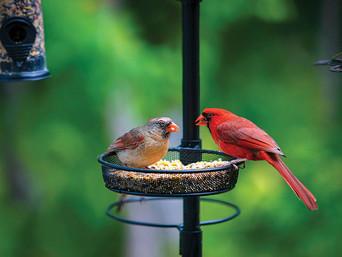 The Cardinal, America's Favorite Bird