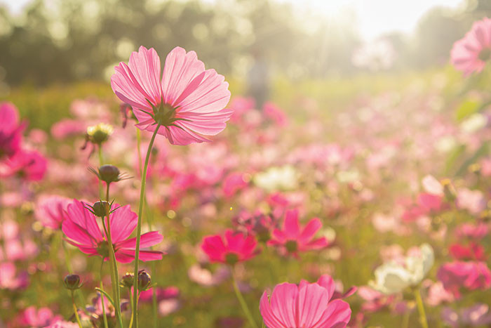 Low-level shot of a field of Cosmos flowers October