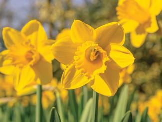 The Delightful Daffodil