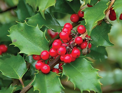 Holly berries red Christmas cheer and happiness