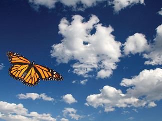 Monarch butterflies carried along by the wind