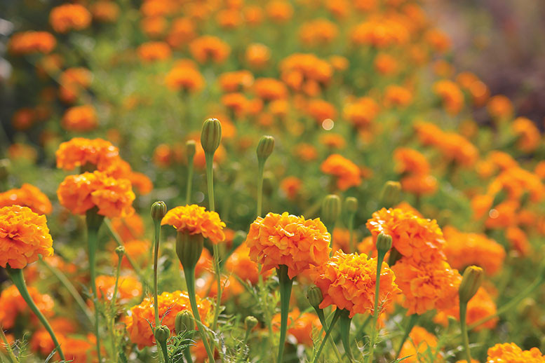 Field of blooming marigolds flowers of October cheerful