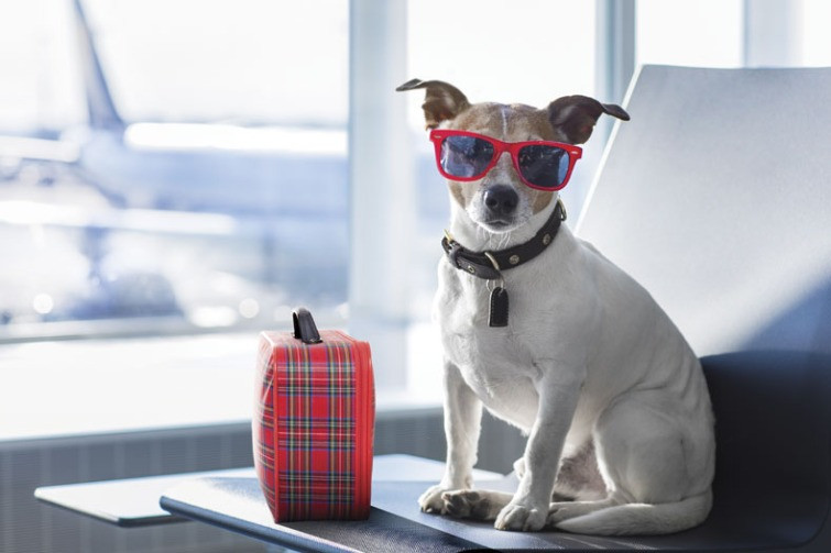Dog in sunglasses with lunch at airport