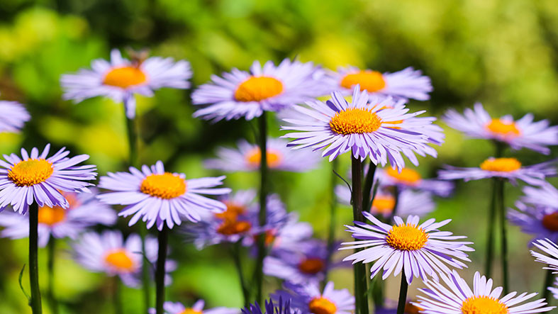 Asters blooming in September