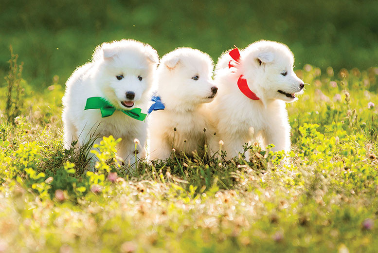 three white puppies lined up outside wearing different colored ribbons