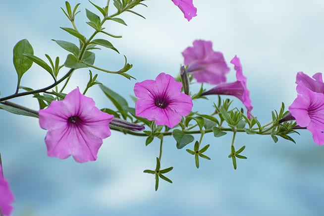 Blooming Morning Glories in September