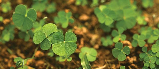 The Lucky Four-Leaf Clover