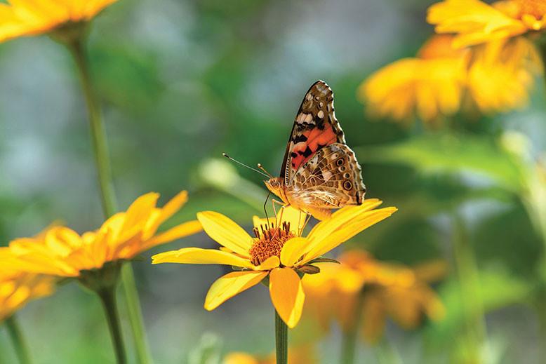 butterfly lands on a golden flower in the garden