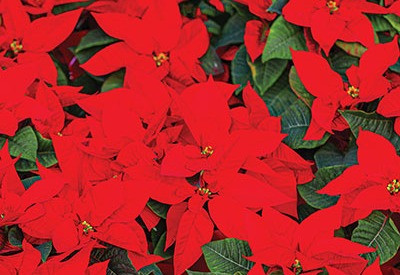 Red Christmas December flower poinsettias