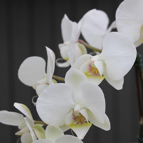 "Single Stem White Orchid 4"""
