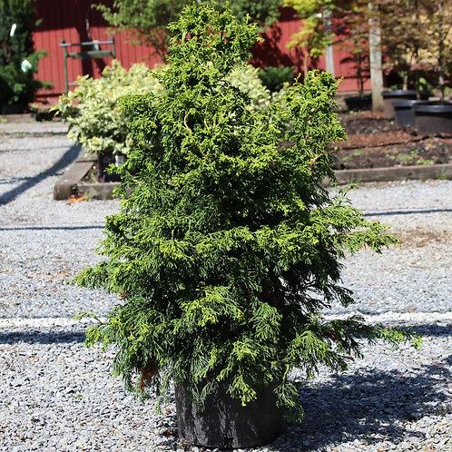 Hinoki Cypress 'Sunny Swirl' 3 Gallon